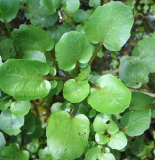Watercress - Nutritional super vegetable