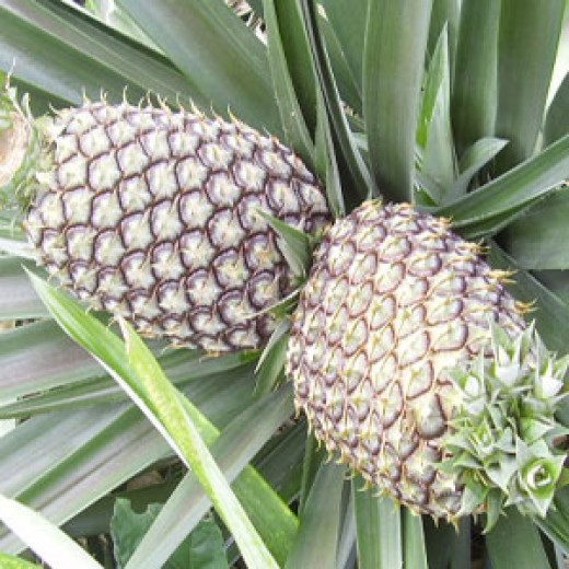 Some people experience increased migraines with fresh pineapples.