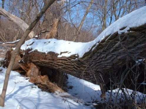 Fallen tree in winter - Photo by timorous