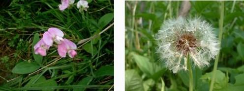 Sweet Pea & Dandelion - Photos by timorous