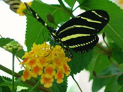Enjoying a Drink of Nectar from Lantana..........All photos courtesy Flickr