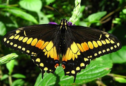 The beautiful Swallowtail.