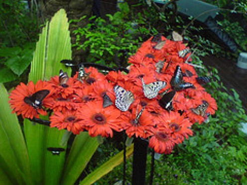 Red flowers attract both hummingbirds and Butterflies