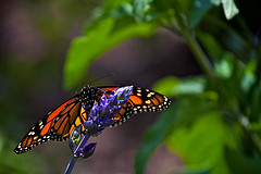 A Monarch Butterfly on Lavender......All photos courtesy Flickr