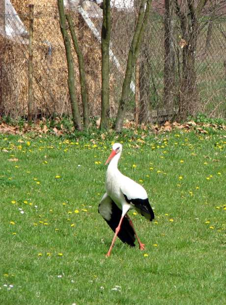 Stork Malena