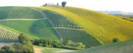 Collina d'Oro , Vineyards , Sunflower-fields , Olivetrees, Oak by pizzodisevo