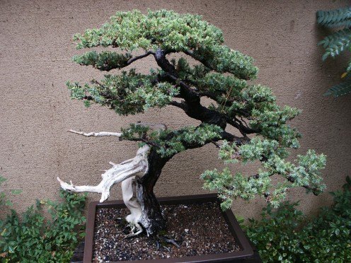 Huntington Library Japanese Bonsai Garden 144 by DominusVobiscum