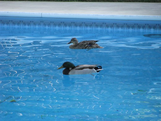 Ducks found their way to the pool from somewhere.