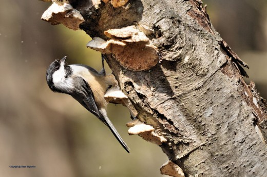 A chickadee pauses while pecking at a rotted tree in late morning light.