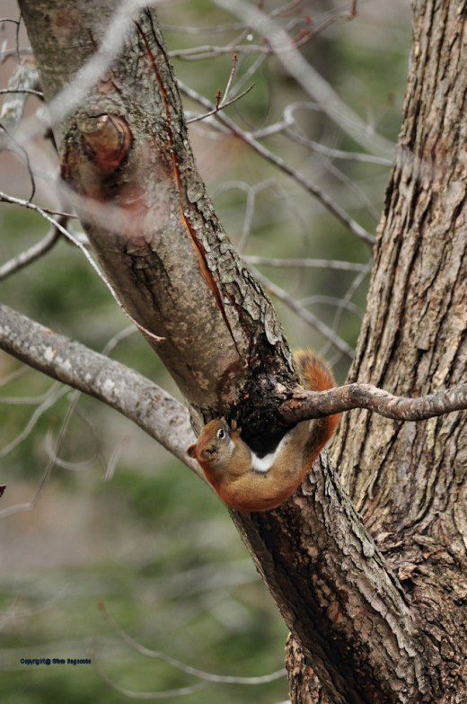 A red squirrel eats sap dripping from a maple tree out of a limb split by heavy snow this past winter.