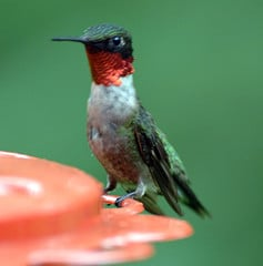 Perky little Ruby Throated Hummingbird at a Feeder. It may look Delicate but it is capable of amazing feats of migration.