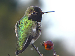 The Hummingbirds Beak is adapted for probing into flowers to seek Nectar.