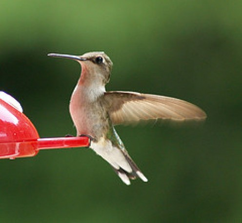 Hovering Hummingbird, the only bird able to Fly Backwards!.....All photos courtesy Flickr.