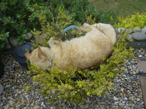 Cat asleep in a thorn bush.