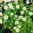 Feverfew Can Decrease Migraine Frequency