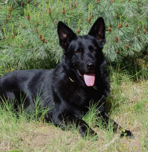 Jack Russel Terrier. All Black German Shephard Irish Red Setter White ...
