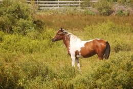 Banker Ponies of Ocracoke Island