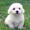 Bichon Puppies profile image