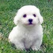 Bichon Puppies profile image