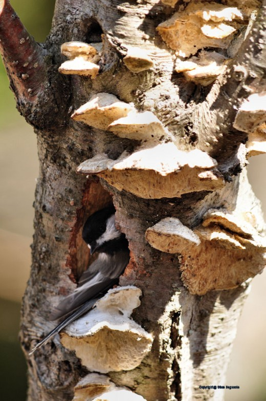 A chickadee works on its nest.