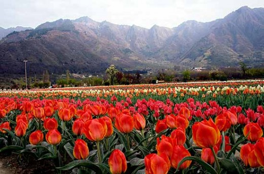 Colorful Siraj bagh in Kashmir valley