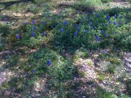 A touch of bluebonnets