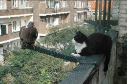 Cat weighing up risk-reward ratio of a pigeon dinner