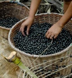 A basket full of acai berries