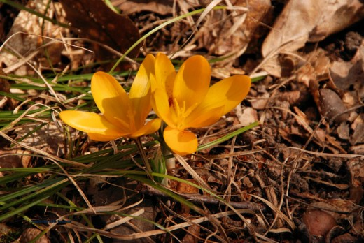 Yellow crocus open in the sun at noon.