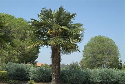 Windmill Palm (http://www.s-dland.com/)