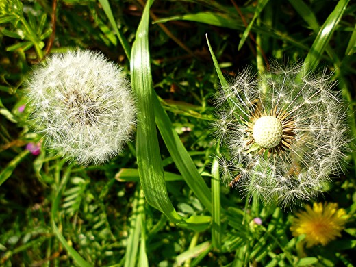 Dandelion (wildflower) photo