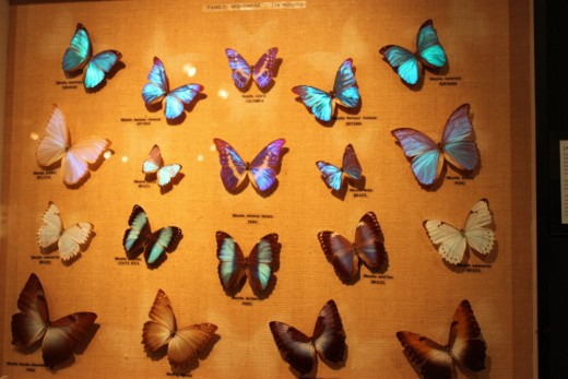 Beautiful Morphos