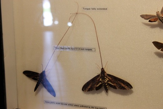 These moths have 9 inch tongues!!