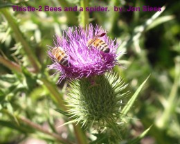Two wild bees on a thistle; crab spider in center.
