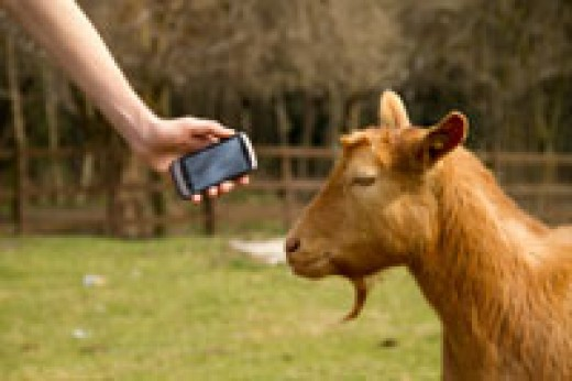 Google language translator for goats