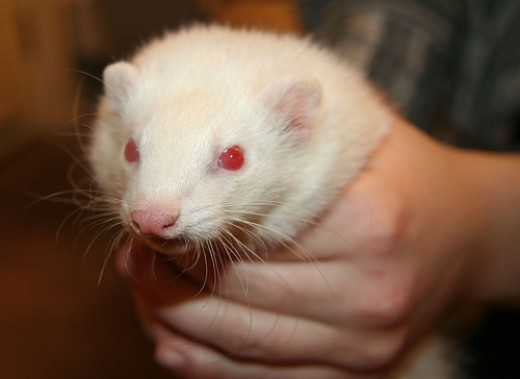 Telegraph reports ferrets are instrumental in spreading broadband access.  Image by AMagill, courtesy of flickr.