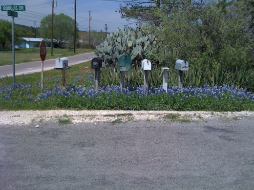 Mailboxes with lush bluebonnets.