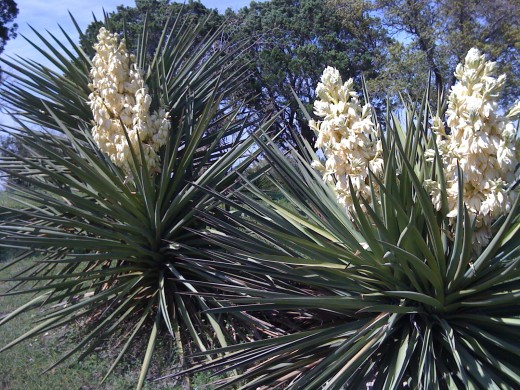 Yucca plant with luscious blooms.