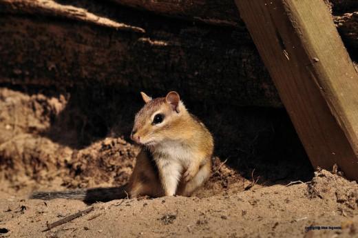 A chipmunk peers from under the bird feeder.