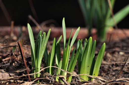 Daffodils are now breaking through the ground. They could be in bloom next week.
