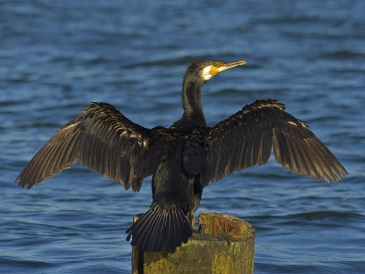 Cormorant by Sawomir Staszczuk (info [AT] photoss.net)