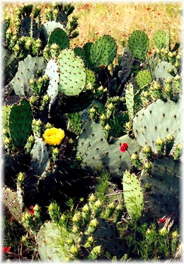 The cactus were just beginning to bloom.