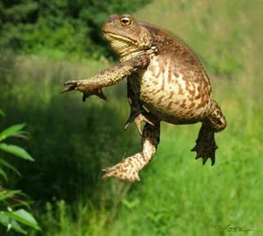 This is not a small toad: note size and agility.
