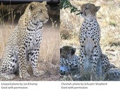 What is the Difference Between Leopards and Cheetahs?