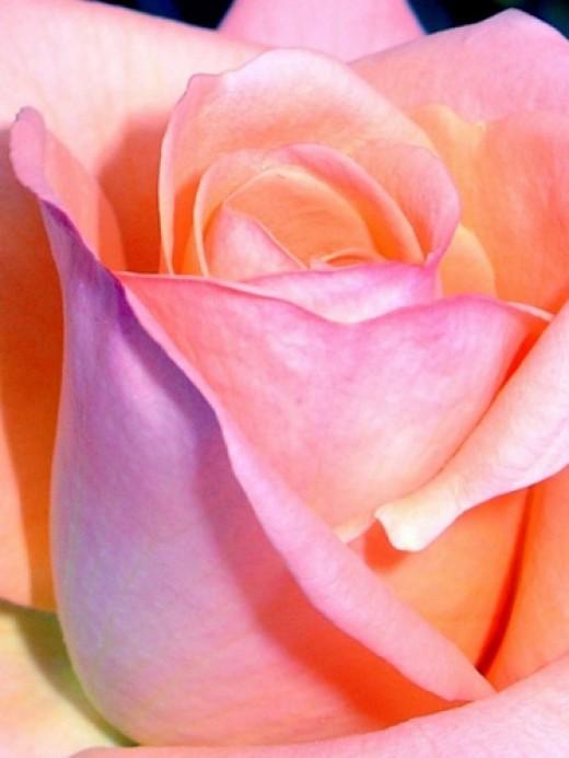 Rose a perennial flowering plant.