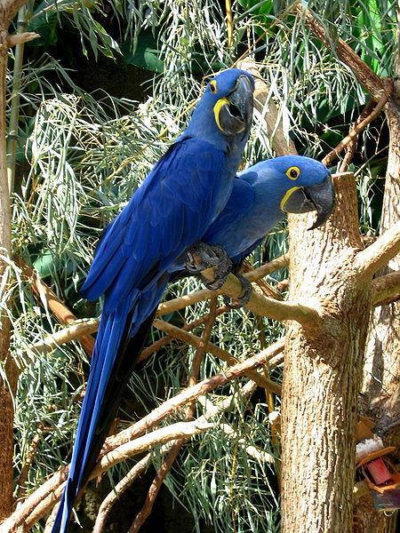 Hyacinth Macaw - Arara Azul - Anodorhynchus hyacinthinus