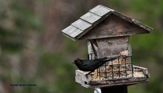 A cowbird visits the feeder. Not all like this bird which can take over other birds nests.