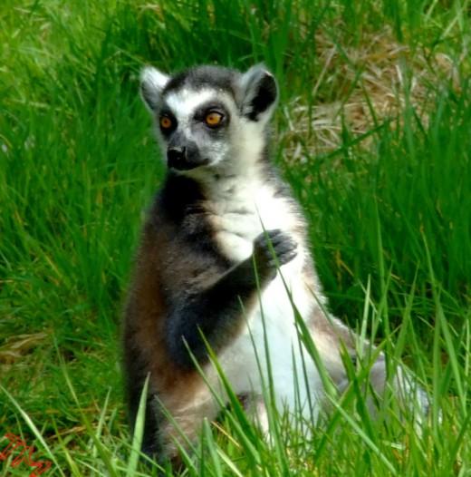 Lurking Lemur