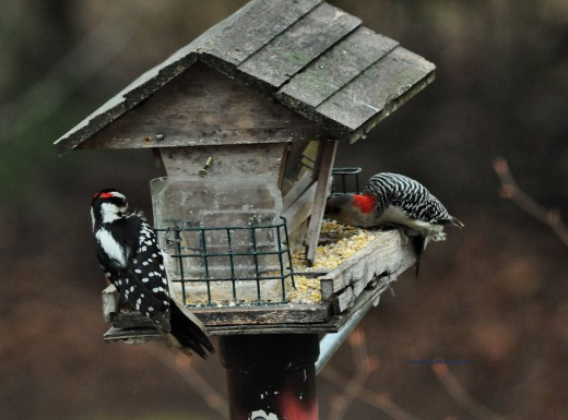 A hoary woodpecker is on the left and a female red-bellied is on the right.