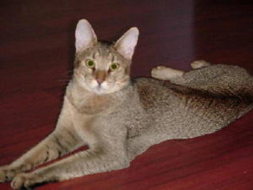 Chausies - Another Hybrid Domestic Cat Breed